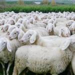 pecore-210